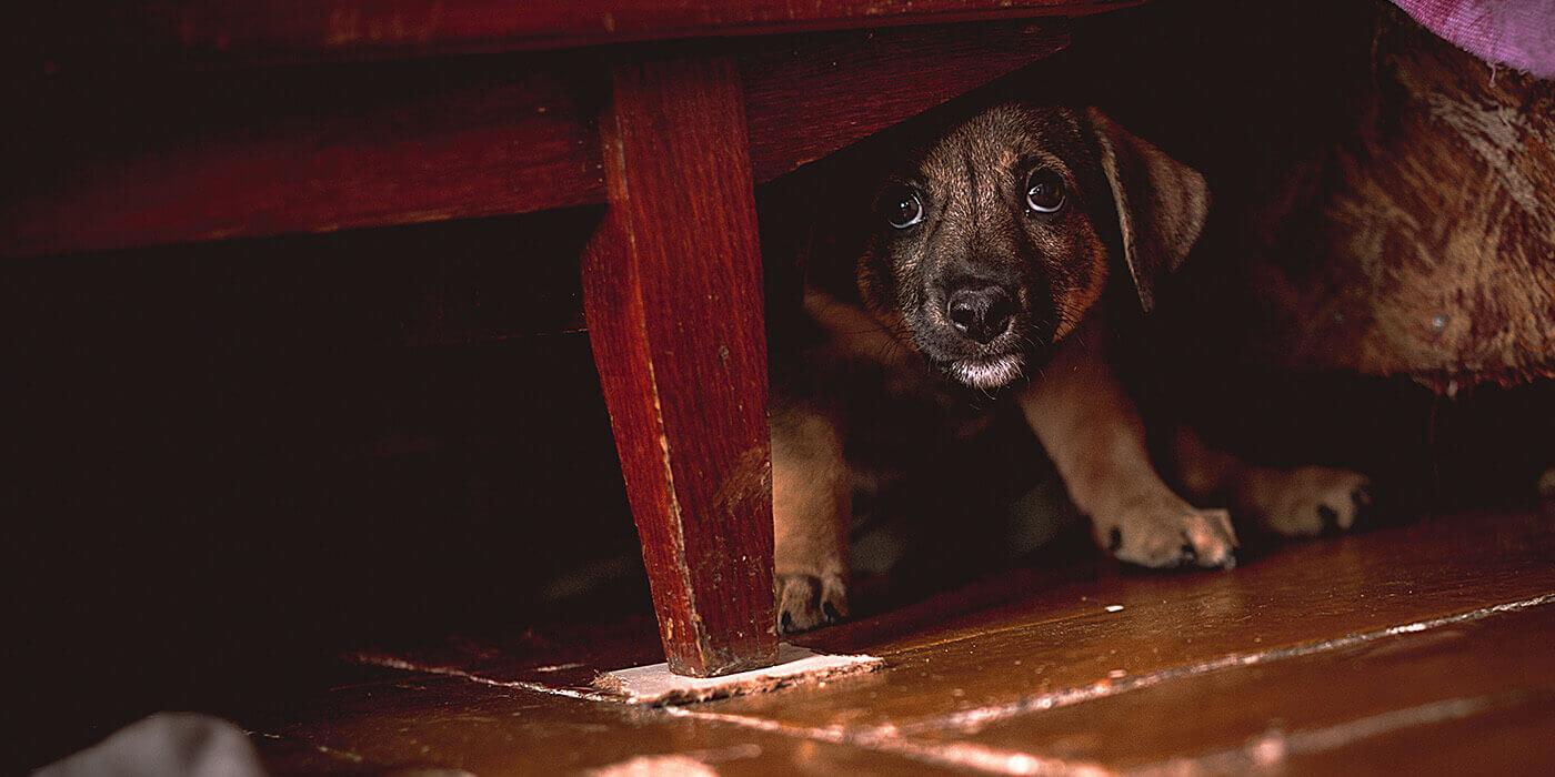 Silvester – Stress für jeden Hund und wie CBD helfen kann